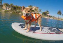 Пес, который ловит волны на доске: в Сети обсуждают собаку с необычным увлечением