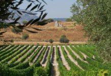 Виноградник в Израиле