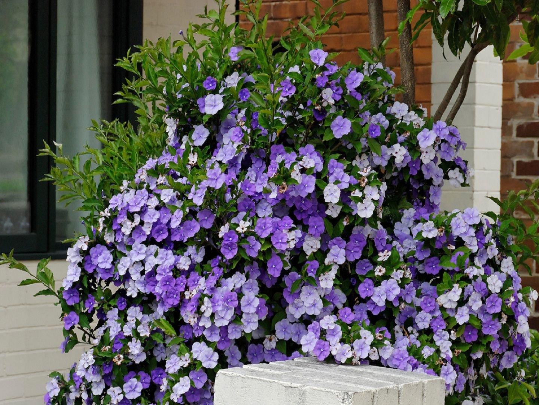 Цветок брунфельзии или брунфельсии