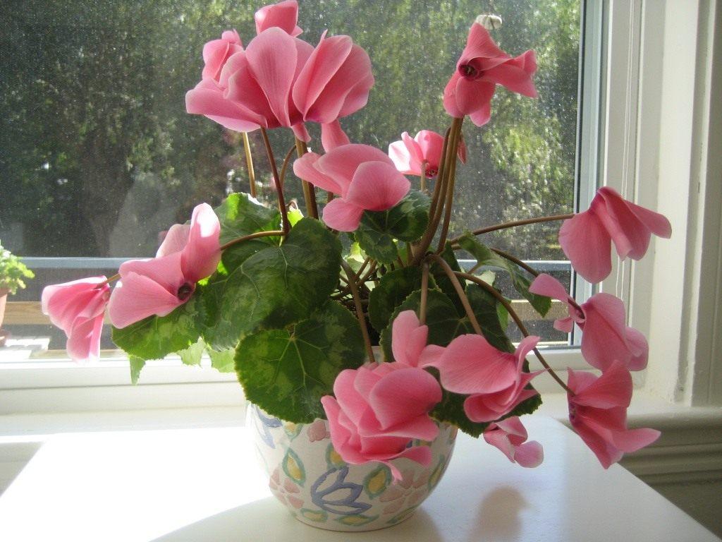 Цветок Цикломен