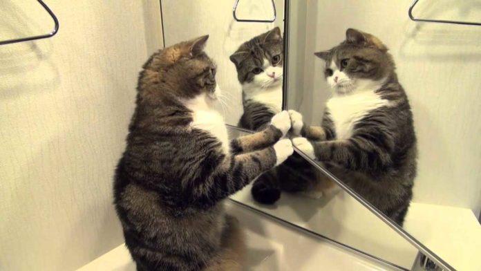 Кошка смотрит в зеркало