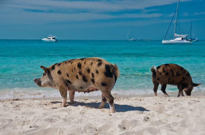Дикие кабаны на пляже