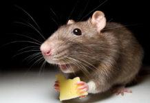 Грызун ест сыр