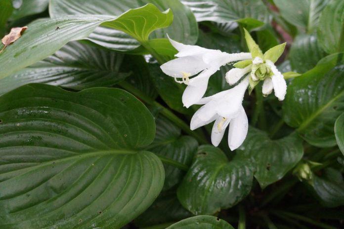 Квітка хоста